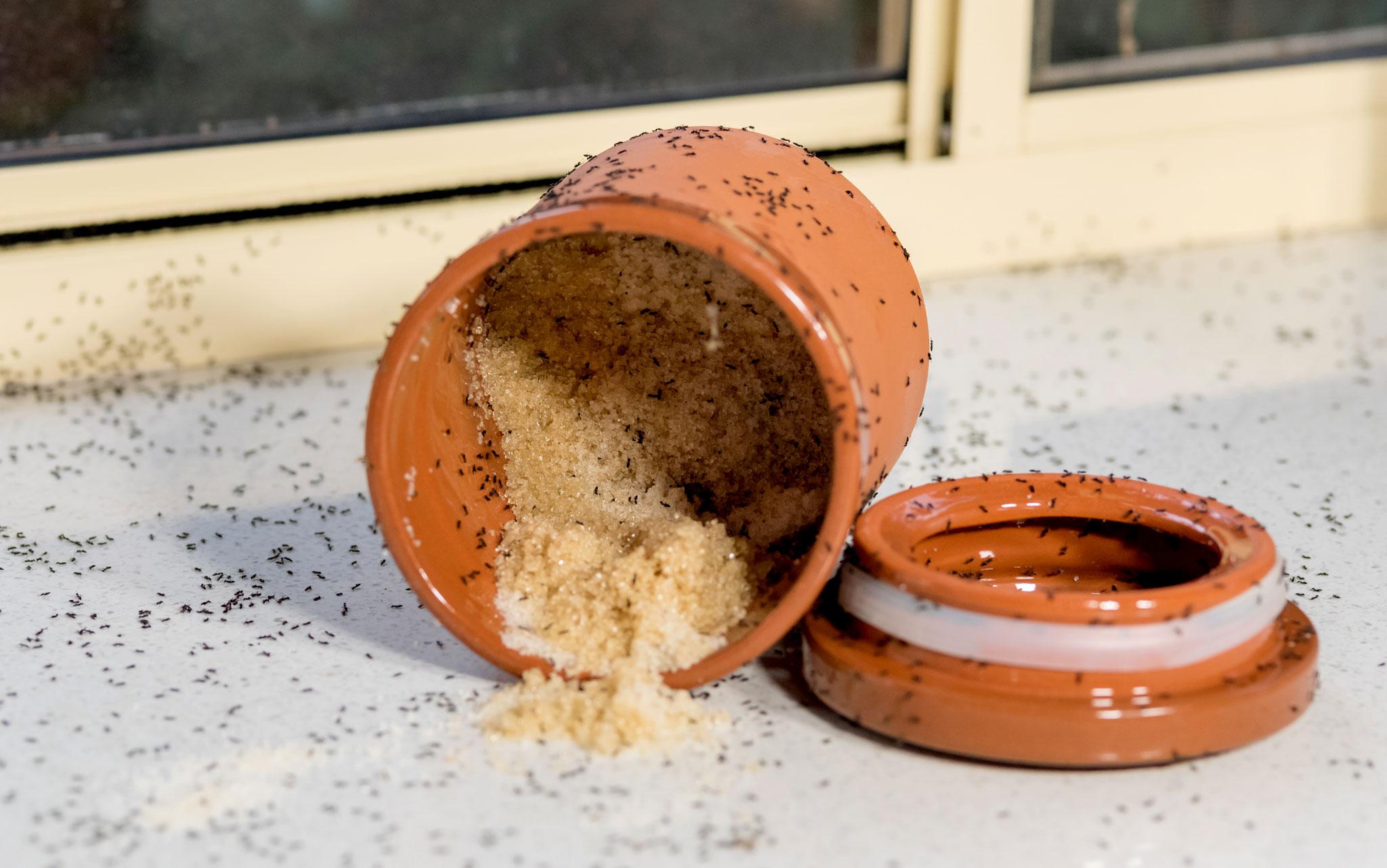 ants exipest